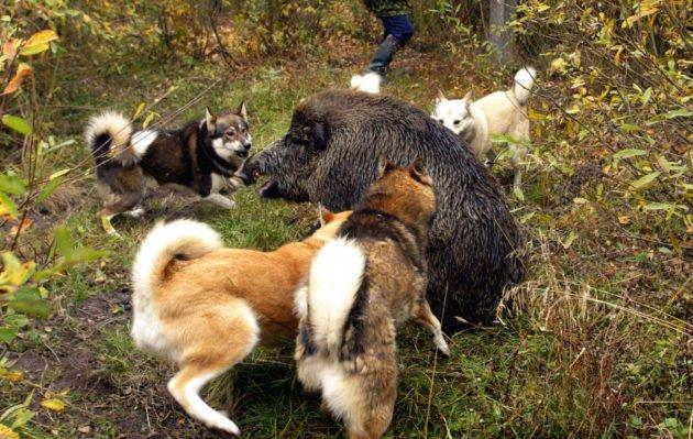 Собаки загнали вепря
