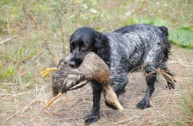 Русский охотничий спаниель предназначен для охоты на пернатую дичь