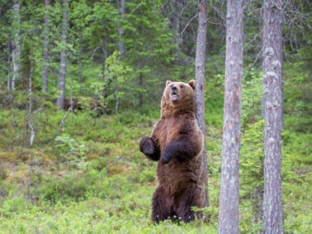 Обычно при встрече с человеком медведь не предпринимает агрессивных действий