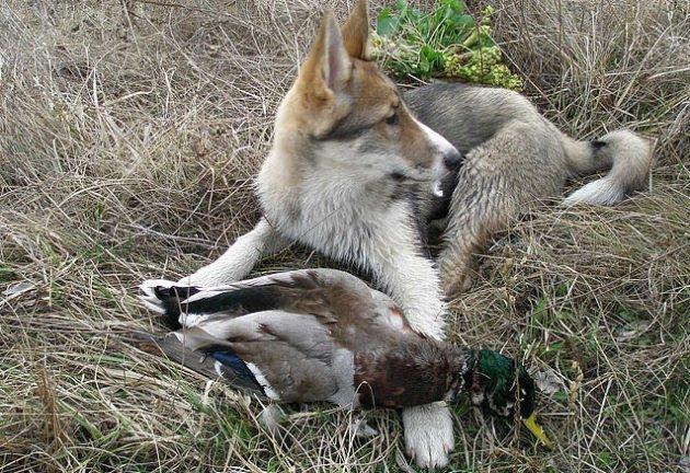 Тренировка лайки для охоты на птицу
