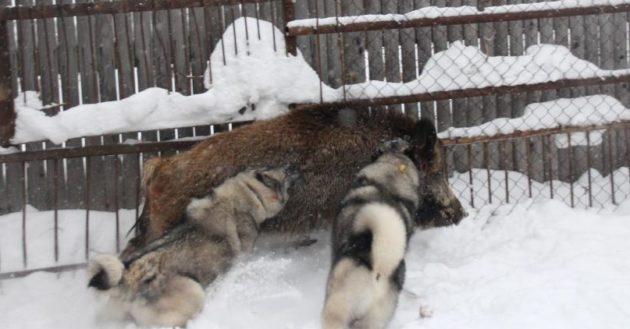 Тренировка собак в вольере