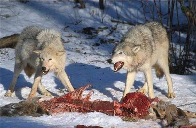 Волки чаще всего охотятся на копытных