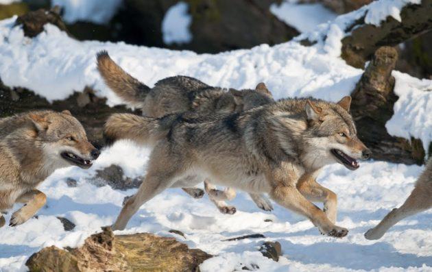 Волки обычно охотятся стаей