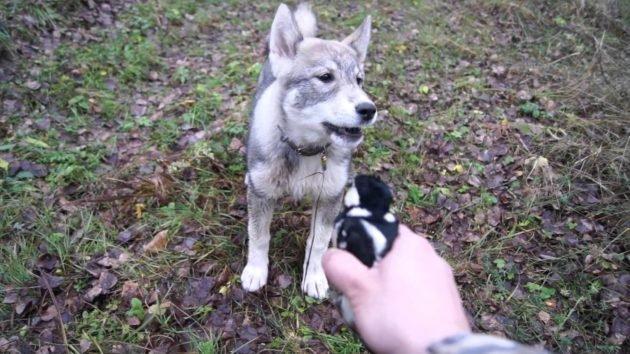 Занятия со щенком лайки
