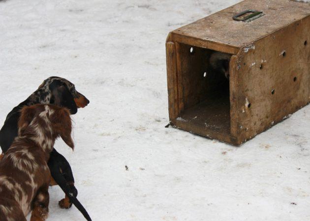 Натаска норных собак на енота