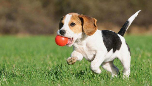 Воспитание щенка охотничьих пород