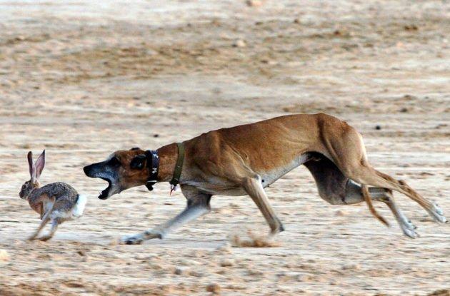 Охота на зайца с грейхаундом