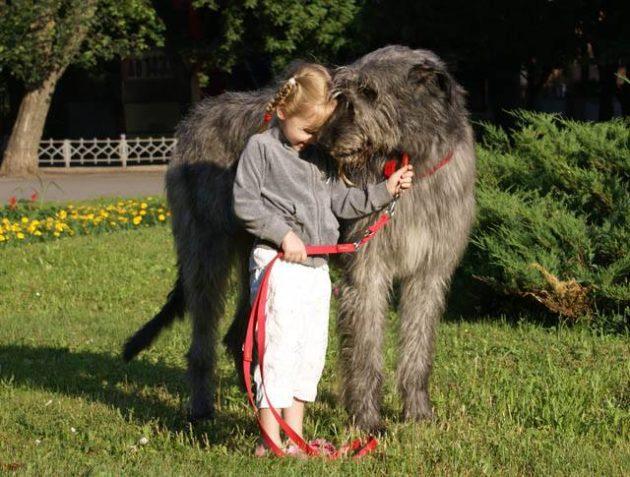 Одной из самых крупных собак считается ирландский волкодав