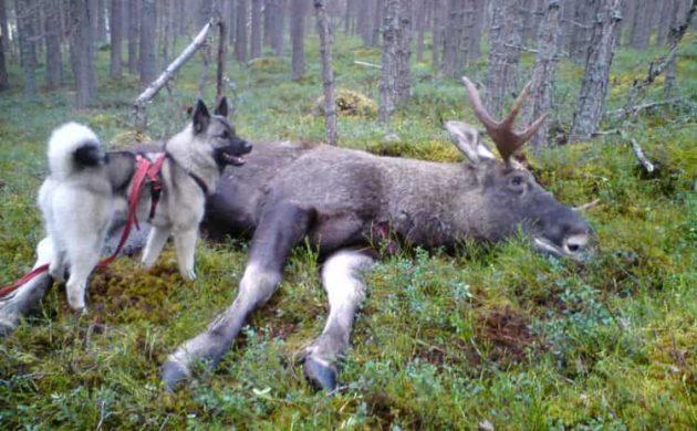 Использование норвежского элкхаунда для загона лося