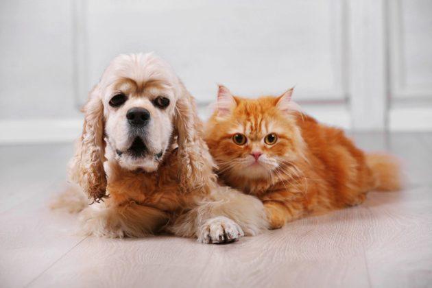 Отлично уживается с другими домашними животными