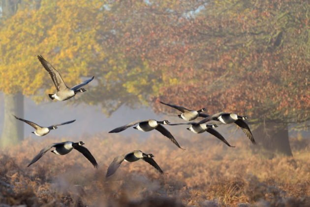 Осенняя миграция гусей