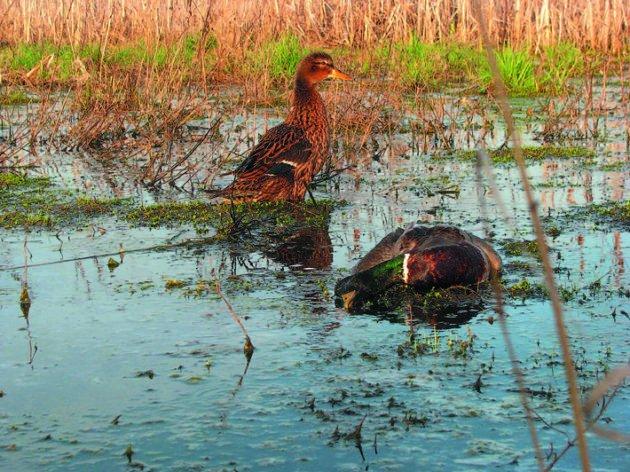 Охота на болоте с подсадной