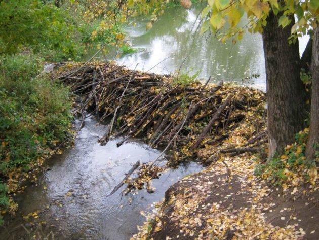 Плотина построенная бобрами