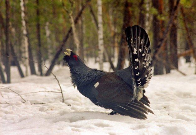 Мясо добытой весной птицы имеет запах хвои