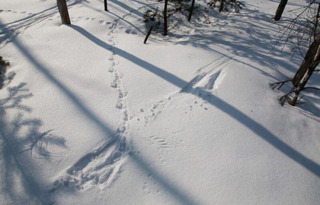 Следы глухаря на снегу