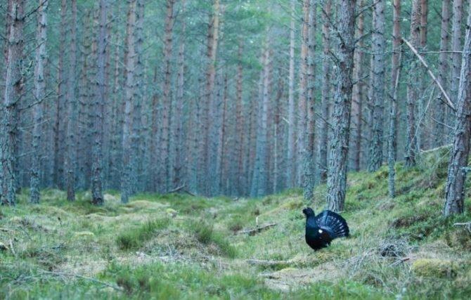 Глухари предпочитают хвойные леса