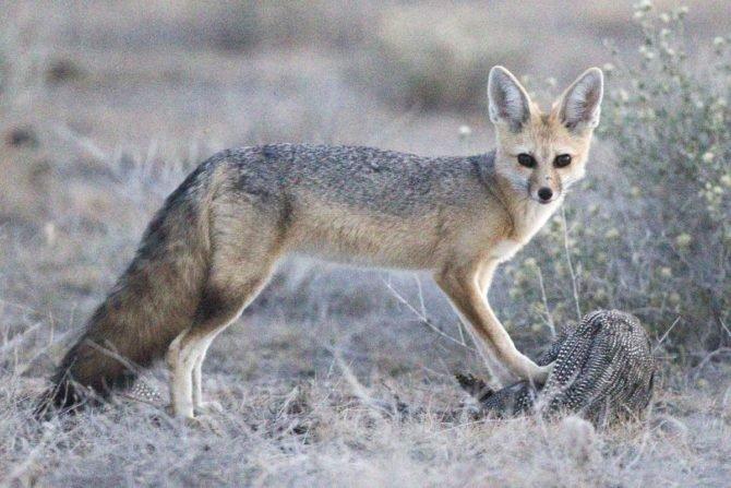 Афганская лисица Vulpes Cana
