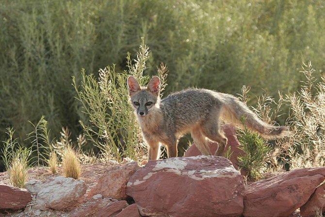 Американская лисица Vulpes macrotis