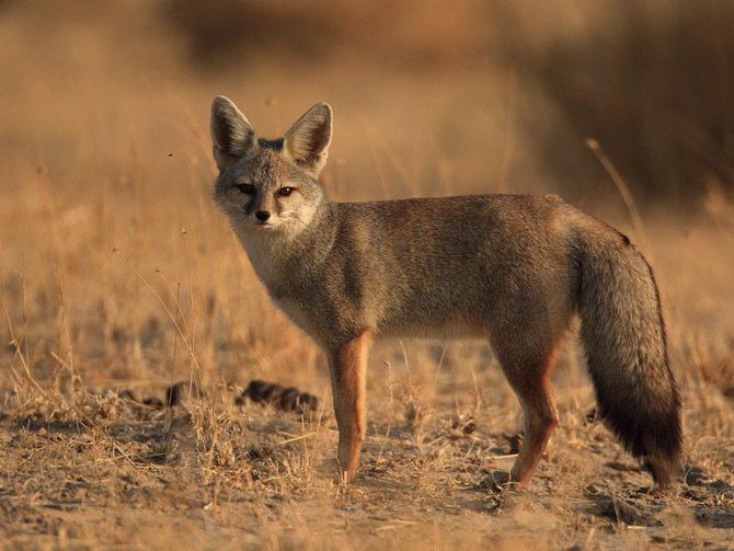 Бенгальская (индийская) лисица