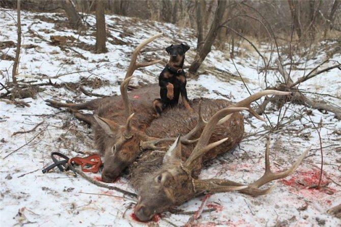 Добыча оленя с собакой
