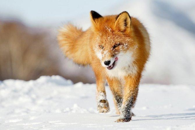 Хищная лиса