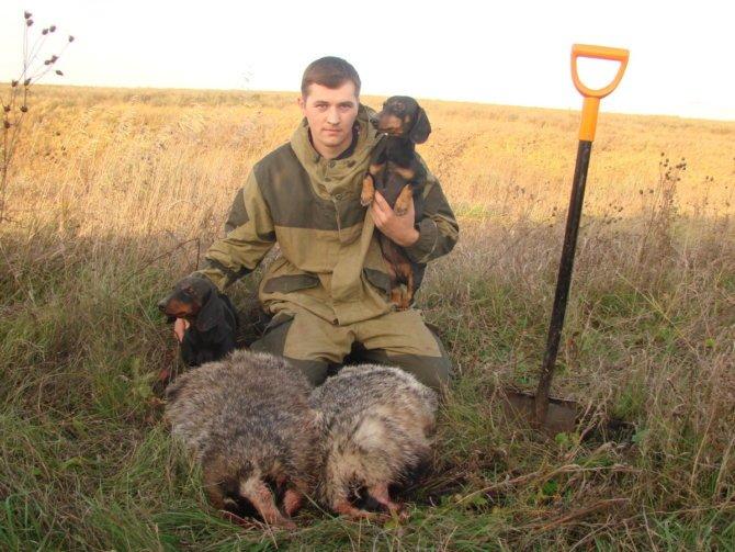 Охота на барсука с таксами