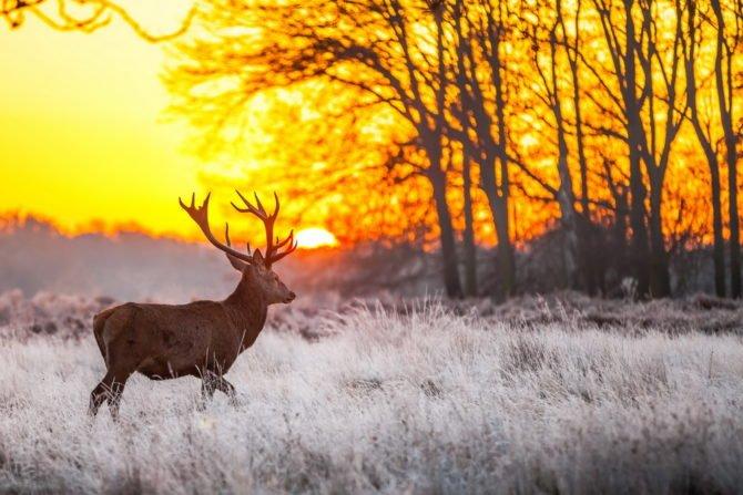 Олень на рассвете в зимнем лесу
