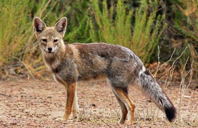 Парагвайская лисица Pseudalopex gymnocercus