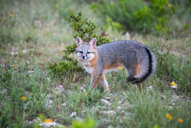 Патагонская серая лисица