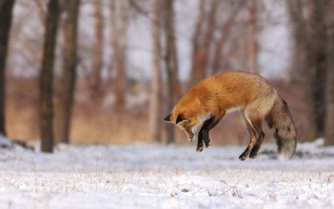 Привада для лисы