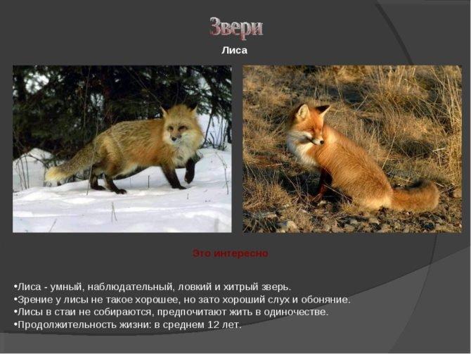 Продолжительность жизни лиса