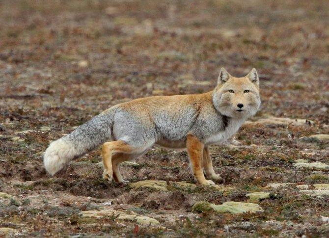 Тибетская пустынная лиса