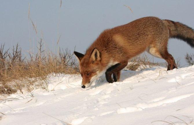 Типичный окрас лисицы обыкновенной зимой