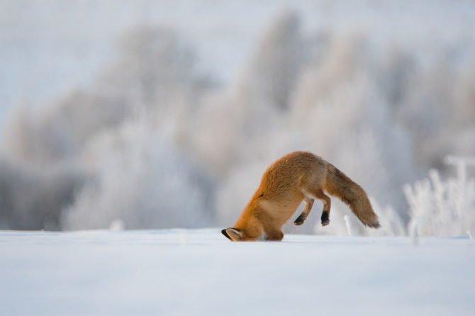 Зимняя охота на полевок