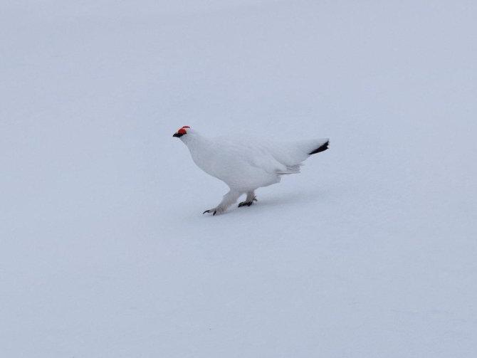 ловля куропатки зимой