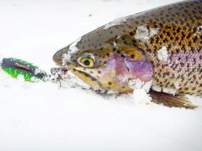 ловля форели зимой на раттлины