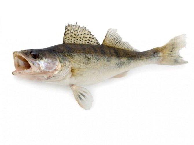 судак описание рыбы