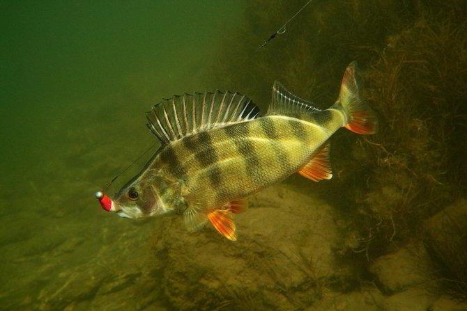 Подводная рыбалка на окуня