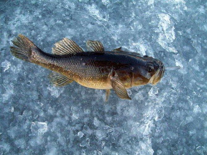 Ротан на льду